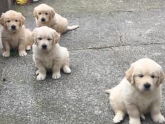Gorgeous Golden retrievers puppies