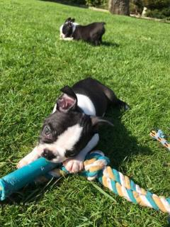 Registered Boston Terrier