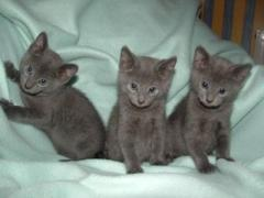 Russian Blue kittens ready go to their forever home.