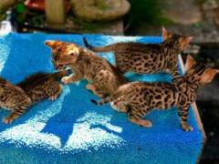 Amazing Bengal Kittens For New Homes