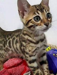 Pure Bengal Kittens