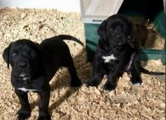 4 Cane Corso, 2 Male And 2 Female