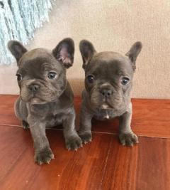 Beautiful Pedigree french bulldog Puppies