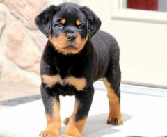 Gorgeous Rotweiller Puppies