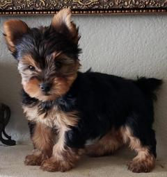 4 Small size yorkshire terrier pups.
