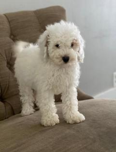 Minature  Very rare, top imported poodle
