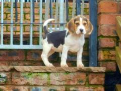 kc Reg Top Pedigree Beagle Pups 2 Tri Left.