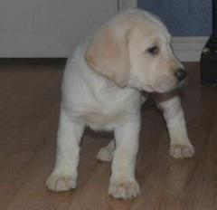 Potty trained Labrador Retriever Puppies