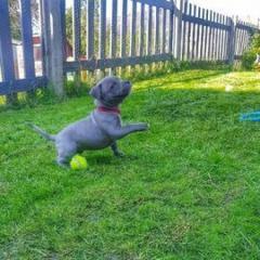 Premium Litter Of Blue Staffordshire Bull Terrier pups