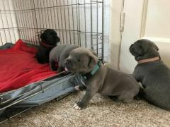 Adorable Staffordshire Bull Terrier Pups