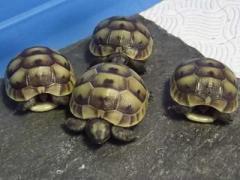 Hermanns Tortoise Well started hatchling