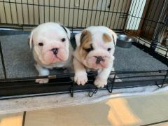 Champion-bloodline English Bulldog puppies PURE