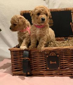 Cavapoo Puppies with all papers