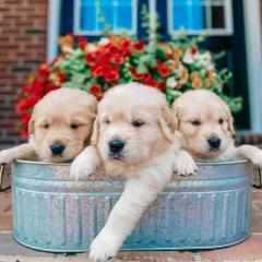 Purbred Golden Retriever Puppies