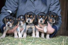 Super Cute Tricolor Beagle Puppies - Hurry Only