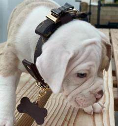 Pure Breed American Bulldog Puppies