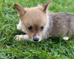 Corgi Pembroke Puppies.whatsapp me at 447418348600