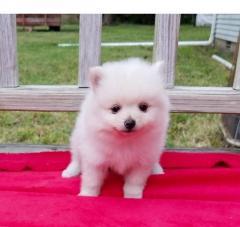Boy & Girl Kc Pomeranians.whatsapp me at 447418348600