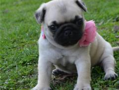Pug Puppies Ready to go home...whatsapp me at 4474183