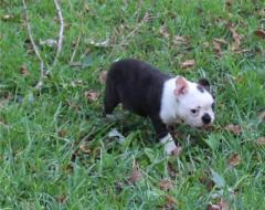 Boston Terrier for sale whatsapp me at 447418348600