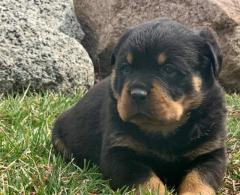 Rottweiler Puppies Girls and boys For Sale..whatsapp me