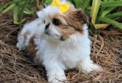 Adorable Shih Tzu Puppys..whatsapp me at 44741834860