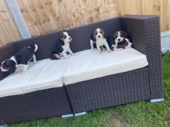 Beautiful Beagle Puppies..whatsapp me at 447418348600