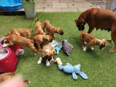 Beautiful Boxer Puppies.whatsapp me at 447418348600