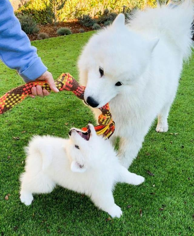 Well Potty Trained Samoyed Puppies for Rehome. 5 Image