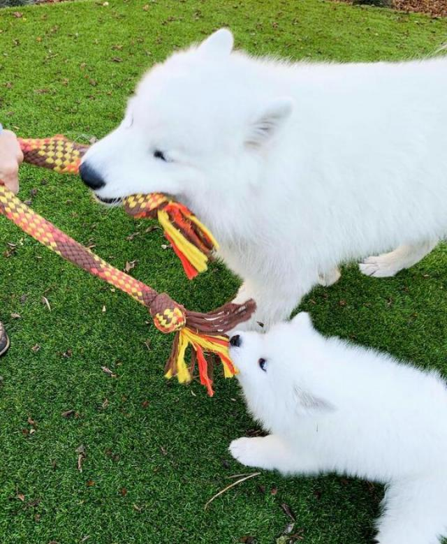 Well Potty Trained Samoyed Puppies for Rehome. 7 Image