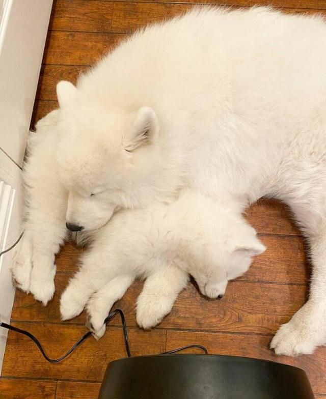 Well Potty Trained Samoyed Puppies for Rehome. 8 Image