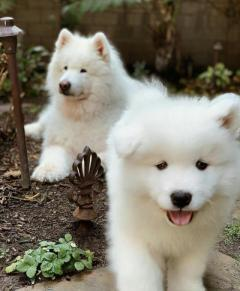 Well Potty Trained Samoyed Puppies For Rehome.