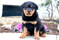 Rottweiler Puppies For Sale Text Us At 745-121-4