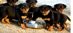 Top Quality Rottweiler Puppies 447440524997
