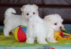 Stunning White Teacup Maltese Puppies 4474405249