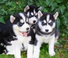 Siberian Husky Puppies 447440524997