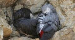 Hand Reared African Grey Parrots.447440524997