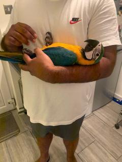 Beautiful Harlegold Macaw Parrots 447440524997