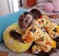 Adorable Capuchin Monkeys 447440524997