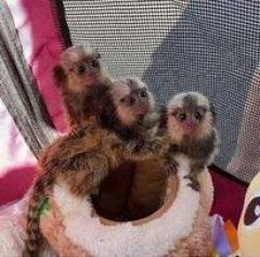 Marmoset Monkeys Available Now 447440524997