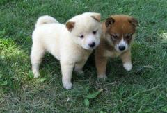 Shiba Inu Puppies Ready Now