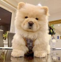 Stunning Chowchow Puppies