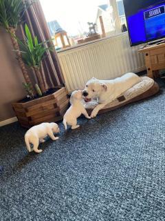 America Bulldog Pupies For Sale