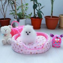 Two Awesome T-Cup Pomeranian Puppies.
