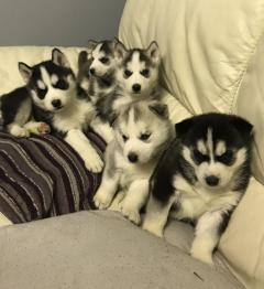 Siberian Husky Puppies Puppy For New Home