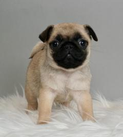 Gorgeous Fawn Pug Puppies For Sale