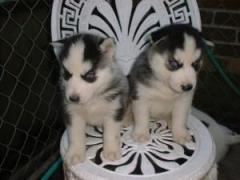 Cute Male And Female Siberian Husky Puppies For