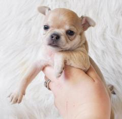 Beutifull Chihuahua Puppies For Sale