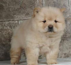 Very Playful Chow Chow Puppies For Sale