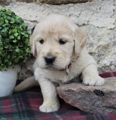 Registered Golden Retriever Puppies For Sale